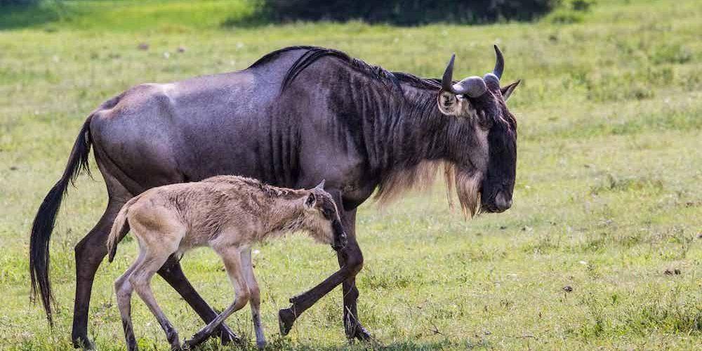 calving serengeti1